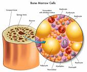 Bone marrow cells. — Wektor stockowy