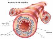 Anatomy of the bronchus. — Stock Vector