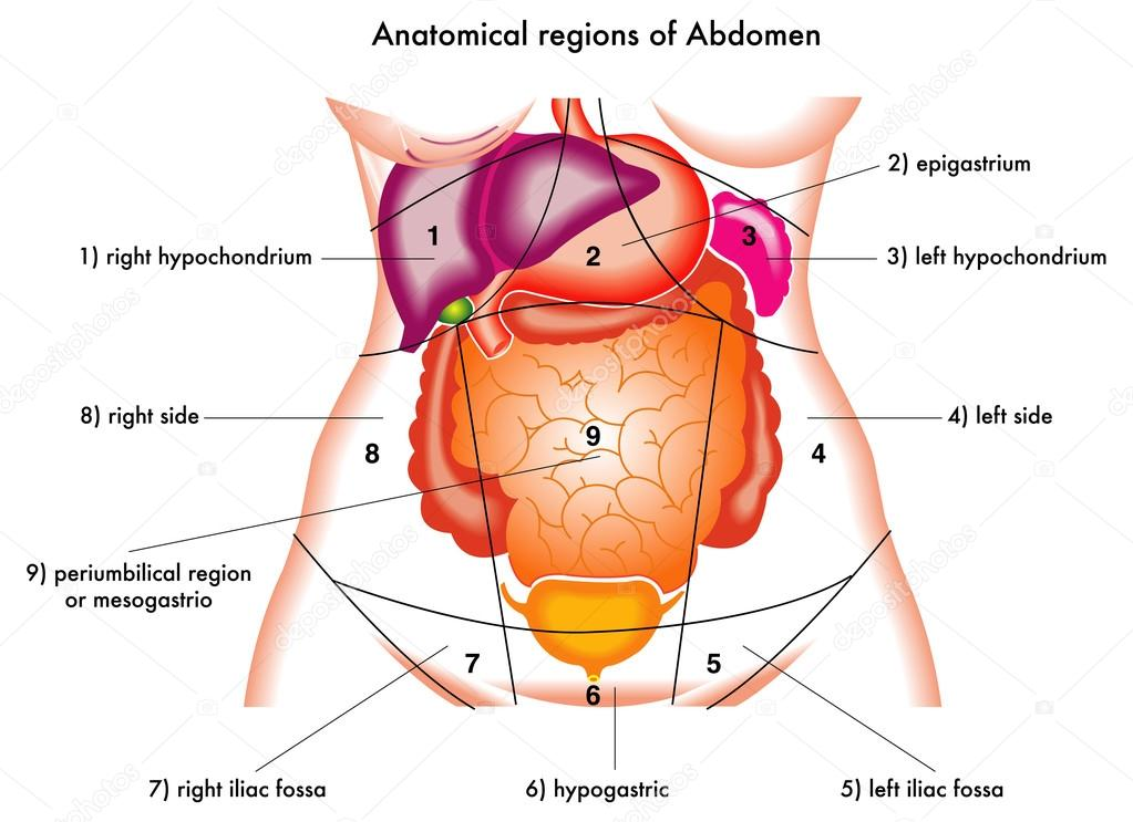 Famous Anatomy Right Side Abdomen Photo - Image of internal organs ...