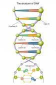 Detailed human DNA — Stock Vector