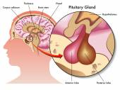 Glândula pituitária — Vetor de Stock