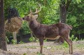 Huge White-tailed Buck — Stock Photo