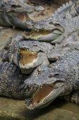 鳄鱼 — 图库照片