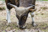 Banteng feeding — Stock Photo