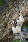 Pileated gibbon — Stock Photo