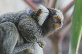 Common marmoset — Stock Photo