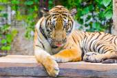 Retrato de un tigre de bengala — Foto de Stock