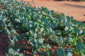 Row of fresh kale plants on a field — Stock Photo