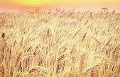 closeup vintage golden wheat field on sunrise, natural  backgro — Stock Photo