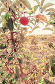Ripe red apple on apple tree branch with instagram effect — Stock Photo