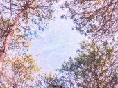 Sosny z błękitnego nieba — Zdjęcie stockowe