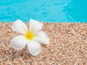 Plumeria by the swimming pool — Stock Photo