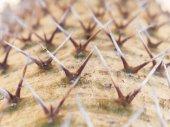 Close up thorn on Madagascar palm — Stock Photo