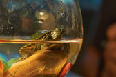 Cub Colombian red-eared sliders . — Stock Photo