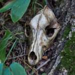 ������, ������: Old skull of a predator