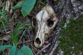 Old skull of a predator. — Stock Photo
