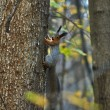 Squirrel on a tree trunk in the autumn forest. — Stock Photo #55155421