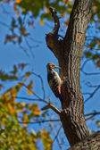 Great spotted woodpecker . — Stock Photo