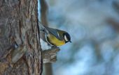Tomtit on a tree in winter forest. — Stock Photo