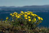 Flowers Potentilla in the tundra of Chukotka. — Stock Photo