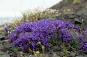 Flowers Pedicularis  in the tundra. — Stock Photo