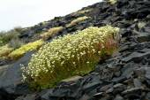 Saxifraga. Saxifrage flowers in the tundra  . — Foto de Stock