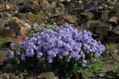 Flowers cyanosis (Polemonium racemosum) in Chukotka. — Stockfoto