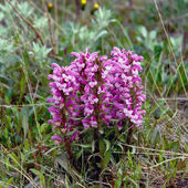 Flowers Pedicularis  in the tundra. — Foto de Stock