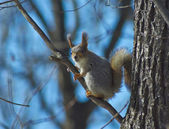 Squirrel in the spring forest. — Stock Photo