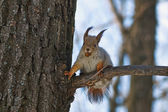 Squirrel  among the trees spring forest. — Stock Photo
