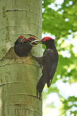 Black Woodpecker feeds its chicks. — Stock Photo