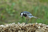 Wagtail collects twigs to build nests. — Stock Photo