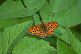 Perlamutrovka butterfly on leaves . — Stock Photo