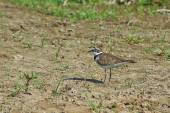 Plover Bird  on the river bank. — Stock Photo