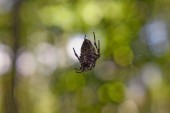 Krzyż tee pająk w sieci. — Zdjęcie stockowe