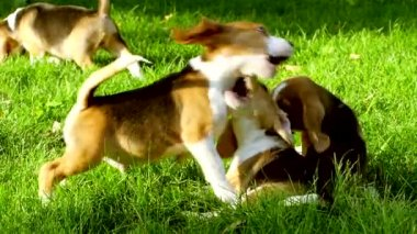Happy beagle dogs in Park. Slow motion — Stock Video