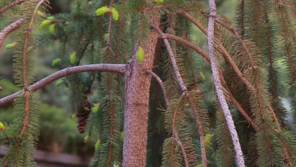 Conos de abeto. bandeja vertical — Vídeo de stock