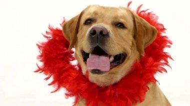 Rosso e cane cucciolo Labrador San Valentino glitter cuore isolato su bianco. — Video Stock