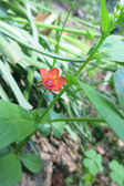 Scarlet pimpernel (guichelheil arvensis) — Stockfoto