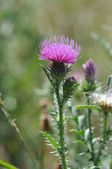 Spiny plumeless thistle or Welted thistle (Carduus acanthoides) — Stock Photo