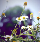 Daisy wildflowers background — Stock Photo