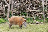 African bush pig eating grass — Stock Photo