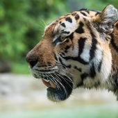 Вид Тигр головы со стороны с раскрытой пасти — Стоковое фото