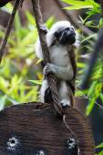 One Cotton-top Tamarin Monkey sits on wood holding at rope — Zdjęcie stockowe