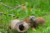 Fox mongoose looking  behind wood in green grass — Stok fotoğraf