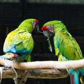 Two green red parrots struggle for one piece of wood — Stock Photo