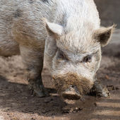 Nose of dirty grey african swine standing on earth ground — Stock Photo