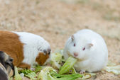 Cute wild white rat and hamster eating grass — Stock Photo