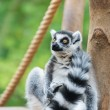 Ring-tailed lemur sitting on tree stub looking with big eyes — Stok fotoğraf #56883343