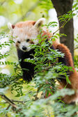 Ailurus fulgens Panda Rosso Red Panda sits between limbs of tree — Stock Photo